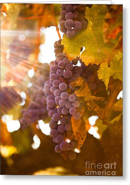 Winemaking Photographs Greeting Cards - Sun ripened grapes Greeting Card by Diane Diederich