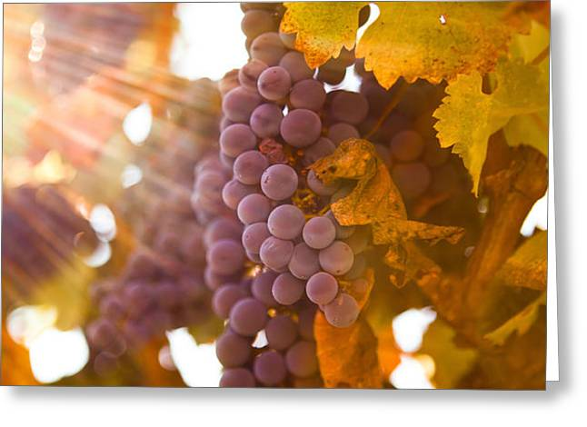 Sun ripened grapes Greeting Card by Diane Diederich