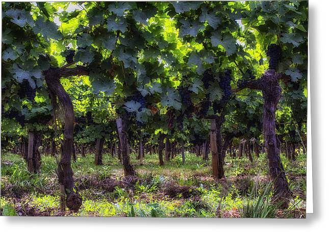 Winery Photography Greeting Cards - Sun Shining Through the Grape Vines Greeting Card by Georgia Fowler