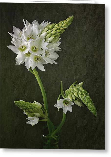 Star Of Bethlehem Photographs Greeting Cards - Sun Star Greeting Card by Kim Andelkovic