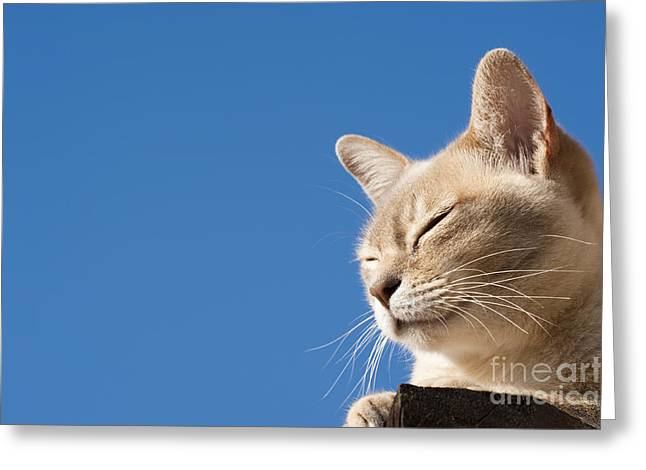 Puss Greeting Cards - Sun Worship Greeting Card by Anne Gilbert