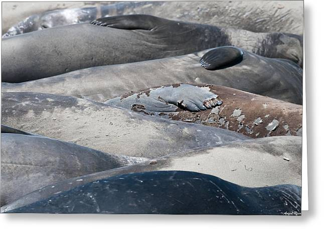 California Sea Lions Greeting Cards - Sunbathing Elephant Seals Greeting Card by Avian Resources