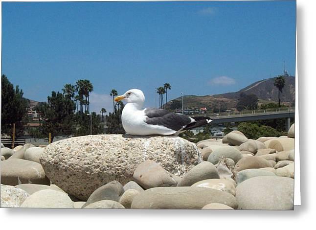 Ventura California Greeting Cards - Sunbathing Seagull Greeting Card by Cindy Nunn