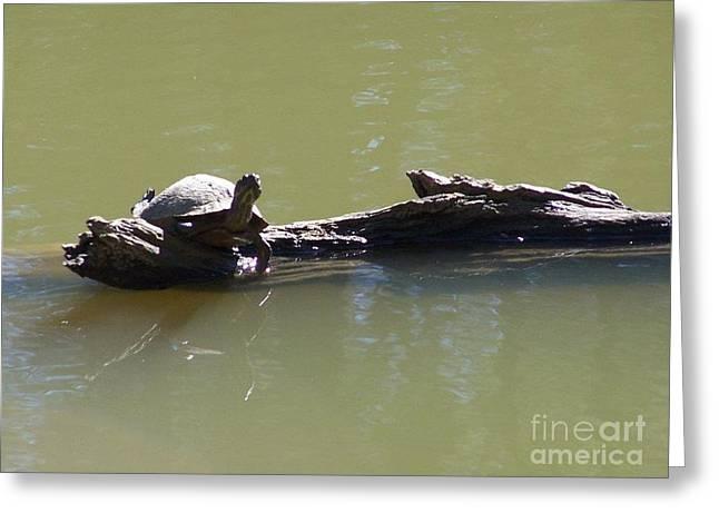 Kevin Croitz Greeting Cards - Sunbathing Turtle Greeting Card by Kevin Croitz