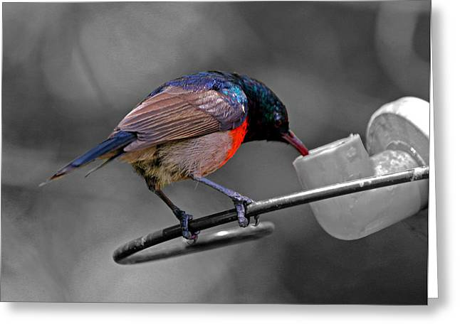 Sunbird Greeting Cards - Sunbird Greeting Card by Chris Whittle
