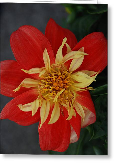 Red Flower Pyrography Greeting Cards - Sunburst Greeting Card by Carol  Eliassen