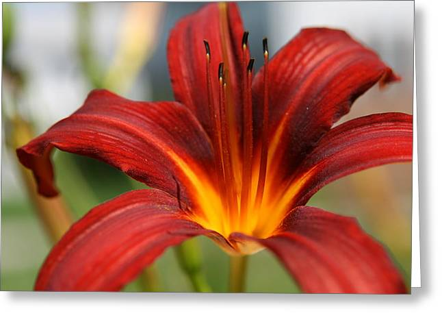 Natures Photos Greeting Cards - Sunburst Lily Greeting Card by Neal  Eslinger