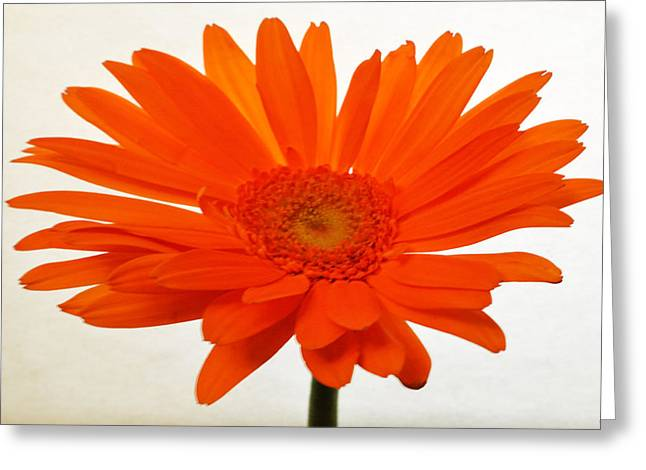 Sunburst Floral Still Life Greeting Cards - Sunburst Zinnia Greeting Card by Sherry Allen