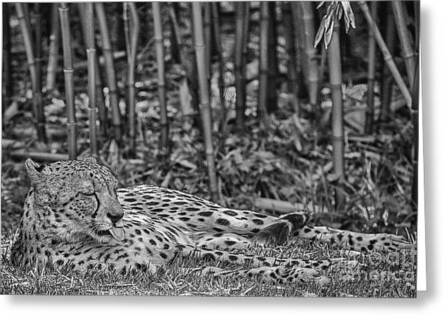 Cheetah Photographs Greeting Cards - Sunday Afternoon Lazing-Black and White Greeting Card by Douglas Barnard
