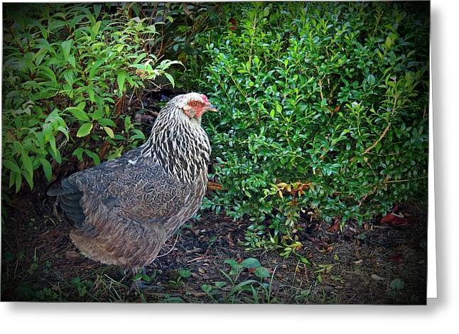 Free Range Hens Greeting Cards - Sunday Hen Greeting Card by MTBobbins Photography