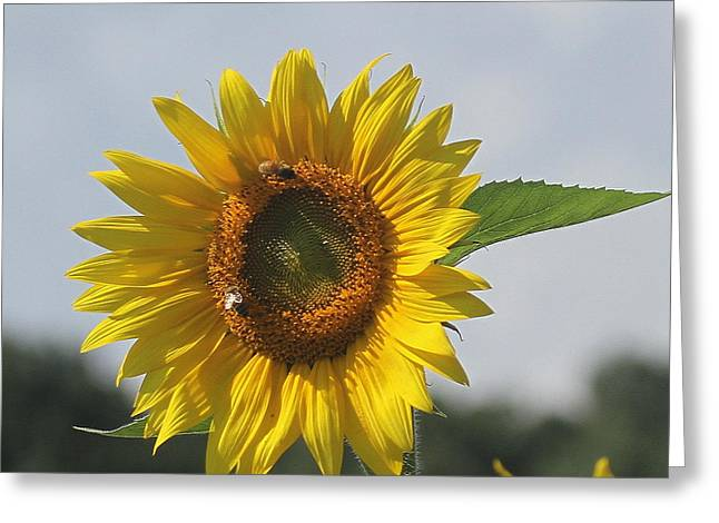 Photographers Conyers Greeting Cards - Sunflower 5 Greeting Card by Cathy Lindsey