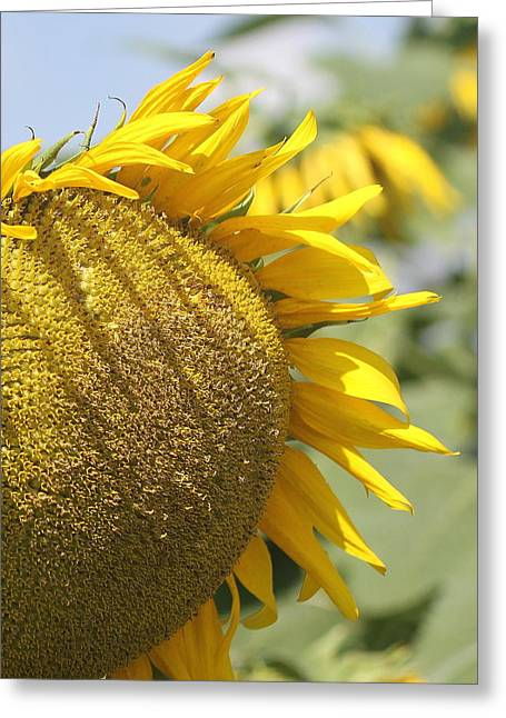 Photographers Conyers Greeting Cards - Sunflower 8 Greeting Card by Cathy Lindsey