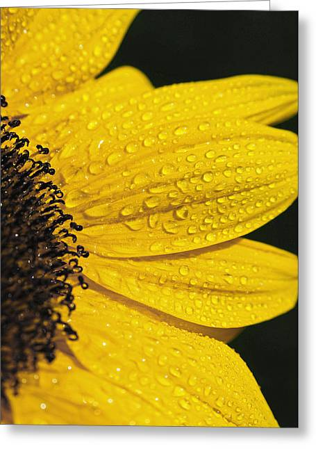 Soft Light Greeting Cards - Sunflower and Raindrops Greeting Card by The Forests Edge Photography - Diane Sandoval
