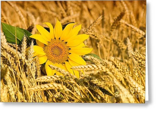 Deer Resistant Flowers Greeting Cards - Sunflower and Wheat Greeting Card by Boon Mee