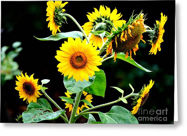 Yellow Sunflower Pyrography Greeting Cards - Sunflower Greeting Card by Andris Upens