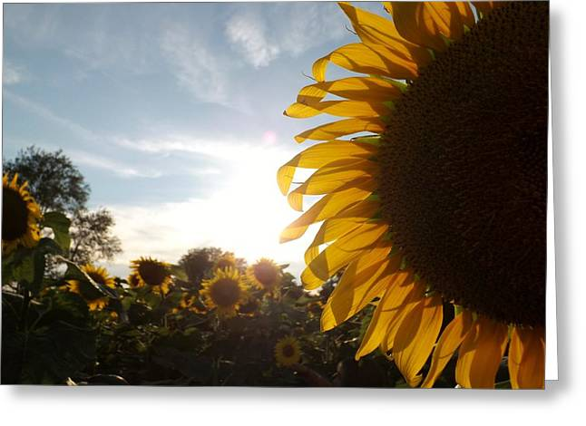 Sunflower Greeting Card by Ashley Thompson