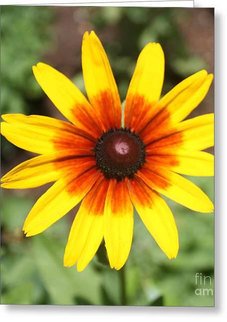 Sunflower At Full Bloom  Greeting Card by John Telfer
