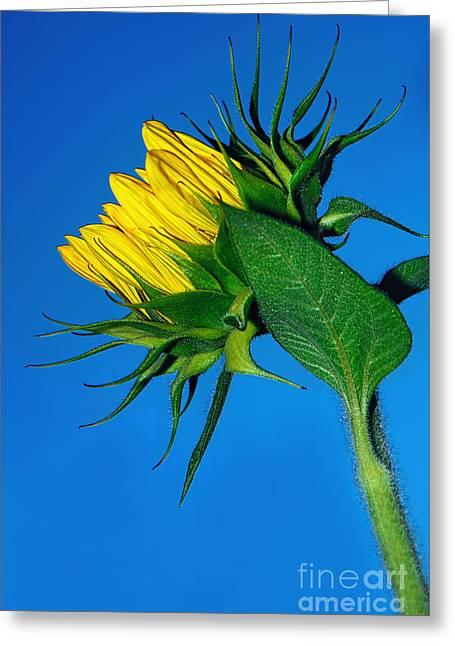 Unfurl Greeting Cards - Sunflower Awakening Greeting Card by Kaye Menner