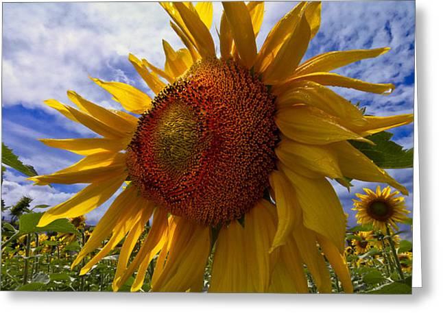 Sunflower Blue Greeting Card by Debra and Dave Vanderlaan