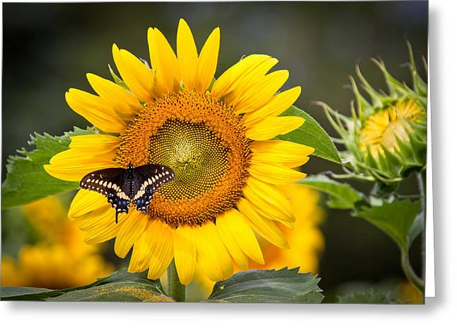 Buttonwood Farm Greeting Cards - Sunflower Butterfly Greeting Card by Stephen Beebe