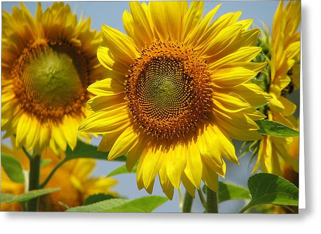 Buttonwood Farm Greeting Cards - Sunflower Closeup Greeting Card by Tammie Miller