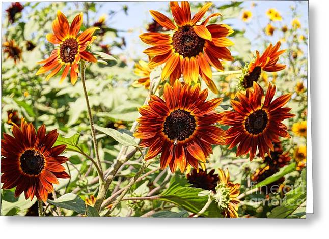 Farmstand Greeting Cards - Sunflower Cluster Greeting Card by Kerri Mortenson
