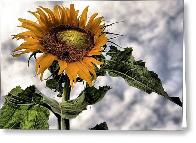 Sunflower Seeds Greeting Cards - Sunflower Greeting Card by Dan Sproul