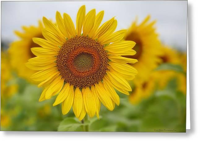 Sunflower Greeting Card by Daniel Behm