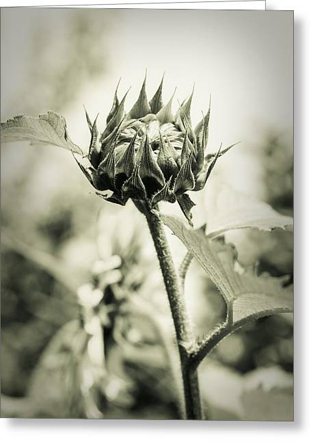 Mother Gift Greeting Cards - Sunflower - Dreamers Garden Series Greeting Card by Marco Oliveira