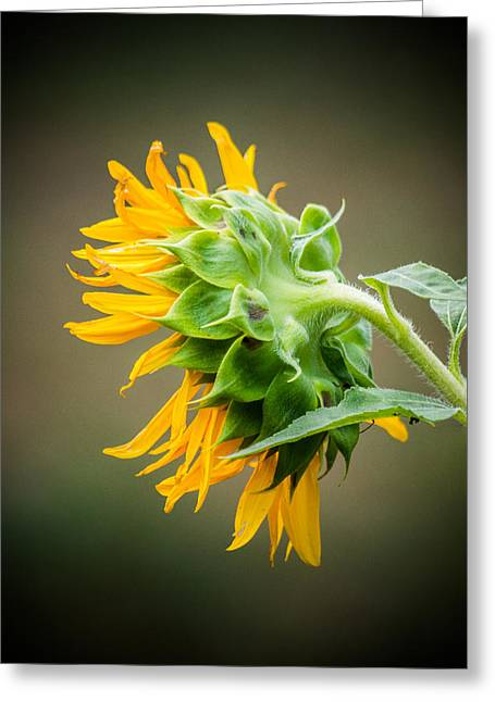 Sunflower Seeds Greeting Cards - Sunflower Dreams Greeting Card by Parker Cunningham