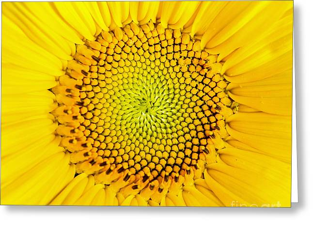 Yellow Sunflower Greeting Cards - Sunflower  Greeting Card by Edward Fielding