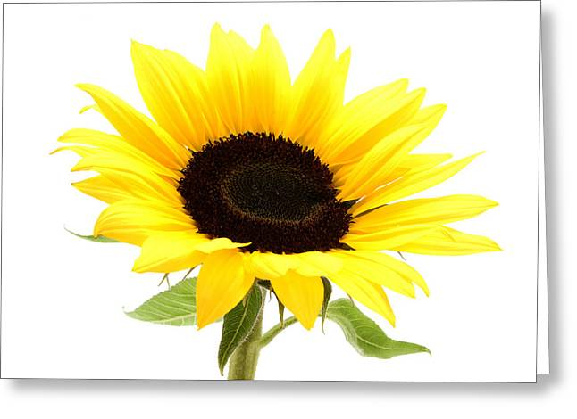 White Background Greeting Cards - Sunflower Greeting Card by Fabrizio Troiani