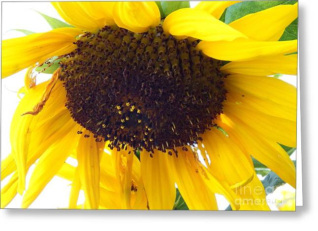Sunflower - Falling For You Greeting Card by Janine Riley