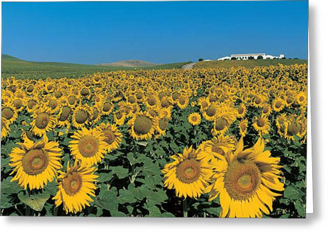 Andalucia Greeting Cards - Sunflower Field Andalucia Spain Greeting Card by Panoramic Images