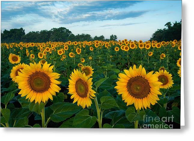 Bottomlands Greeting Cards - Sunflower field at sunrise Greeting Card by Jack Nevitt