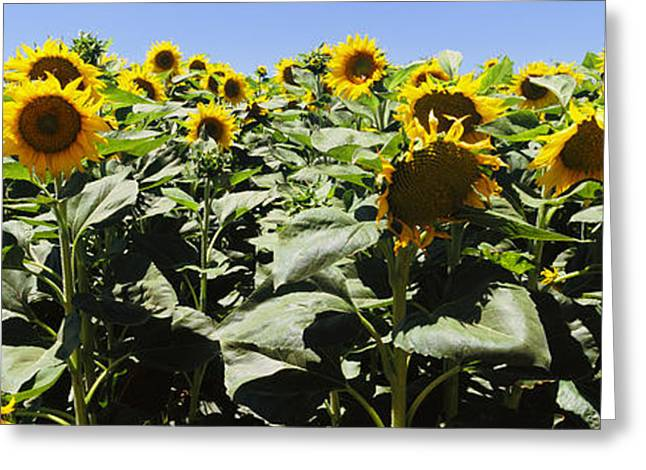 Flowers In California Greeting Cards - Sunflower Field, California, Usa Greeting Card by Panoramic Images