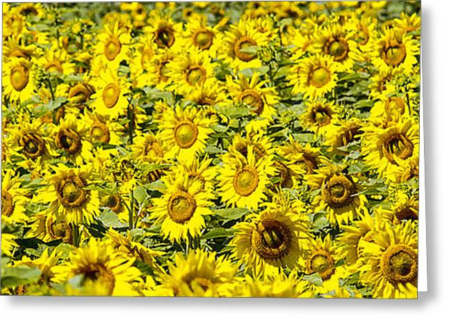 Close Focus Nature Scene Greeting Cards - Sunflower Field Greeting Card by Donald  Erickson