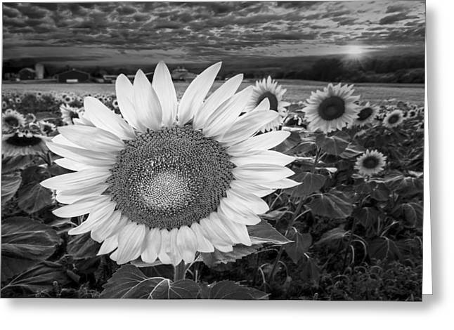 Sunflower Greeting Cards - Sunflower Field Forever BW Greeting Card by Susan Candelario