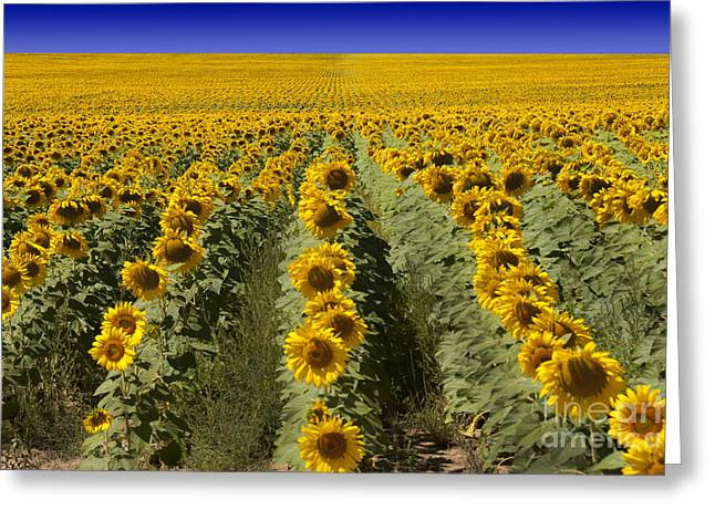 Vibrant Photographs Greeting Cards - Sunflower Field Greeting Card by Juli Scalzi