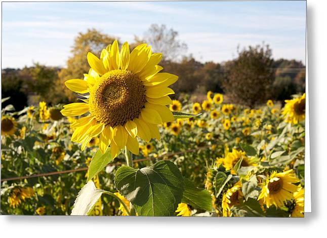 Mecklenburg County Greeting Cards - Sunflower Field Greeting Card by Orange Cat Art