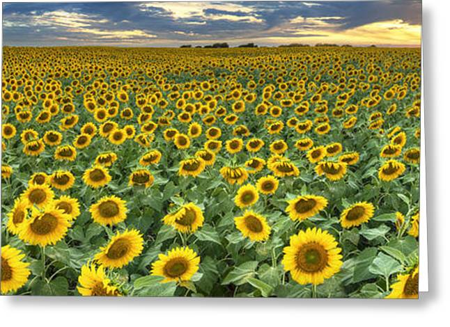 Wild Flowers Of Texas Greeting Cards - Sunflower Field Panorama - Texas Wildflower Images Greeting Card by Rob Greebon