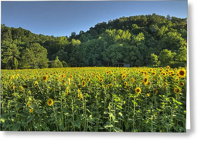 Franklin Tn Greeting Cards - Sunflower Field Greeting Card by Ron Macaluso