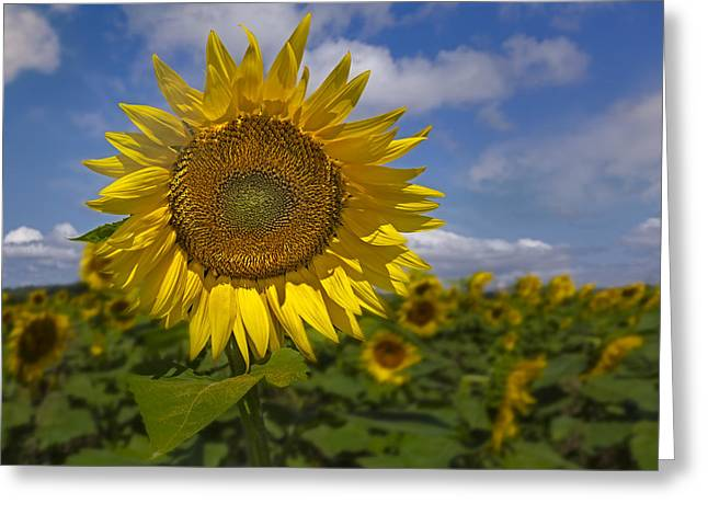 Garden Greeting Cards - Sunflower Field Greeting Card by Susan Candelario