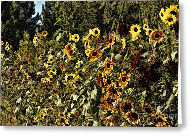 Sunflower Patch Greeting Cards - Sunflower Fields Forever Greeting Card by Peggy J Hughes