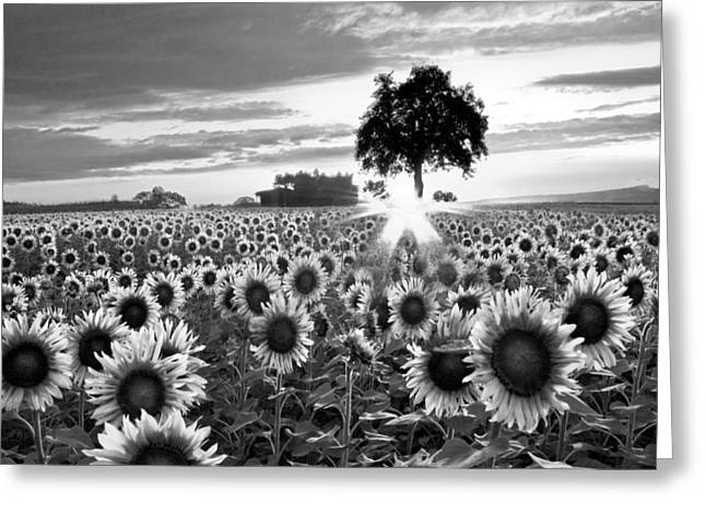 Swiss Photographs Greeting Cards - Sunflower Fields in Black and White Greeting Card by Debra and Dave Vanderlaan