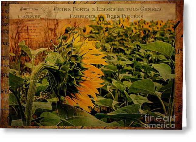 Shabbychic Greeting Cards - Sunflower Fields. Greeting Card by ShabbyChic fine art Photography