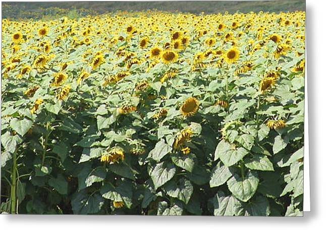 Yellow Sunflower Greeting Cards - Sunflower Fields Greeting Card by Cathy Lindsey