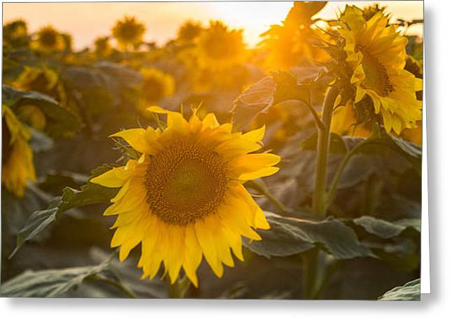 Botanical Greeting Cards - Sunflower Flare Greeting Card by Steve Gadomski