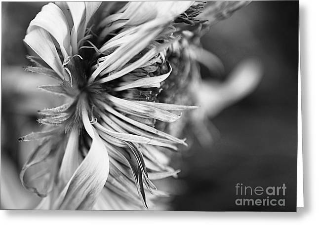 Staging Art Greeting Cards - Sunflower Focus Greeting Card by Terry Rowe