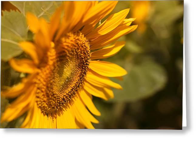 Sun Flower Garden  Greeting Card by Miguel Winterpacht